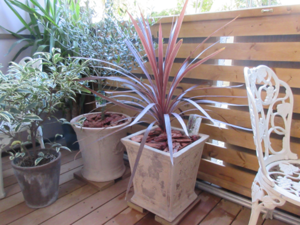 アンティーク調の植木鉢にオリーブとレッドスター。リゾート癒しのバルコニー|港北区S様邸