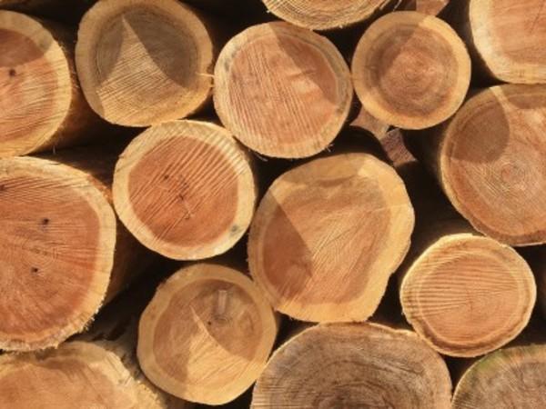 国産の木の魅力、杉の赤身