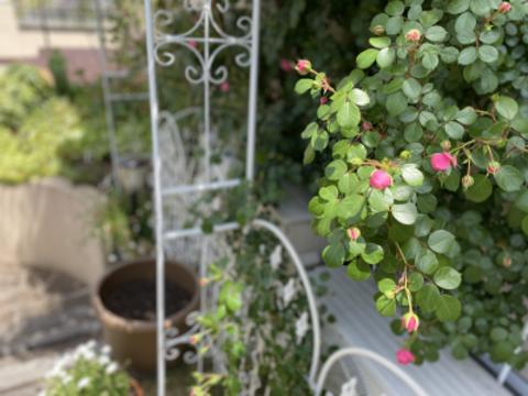 薔薇ガーデン、ピンクの蕾がとても素敵でした