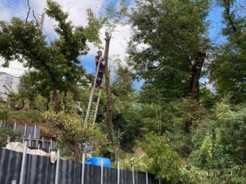 こんな高い桜の木も伐りました